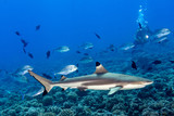 diving with sharks in blue ocean of polynesia