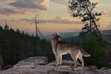 a lone wolf from the mountain sings his song