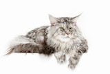Maine Coon sitting and looking away, isolated on white studio