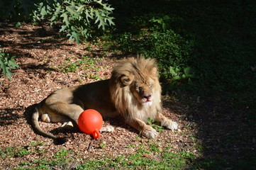 Lion laying on the ground