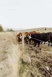 Cows Waiting to be Fed in Farmlands of Montana