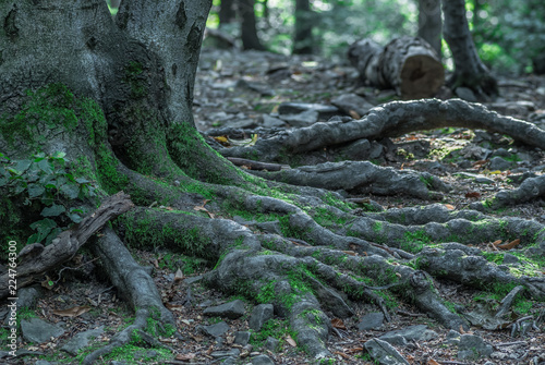 porośnięte mchem korzenie starego drzewa