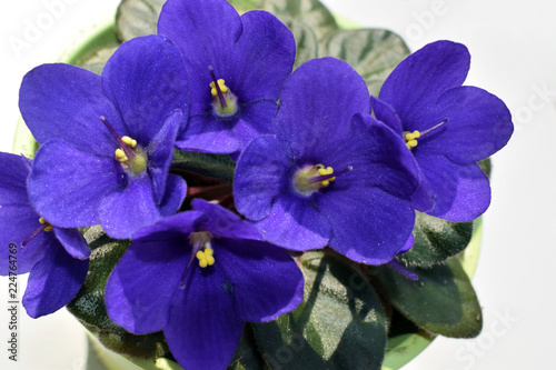 Blossoming room violet close-up. Indoor plant. - 224764769