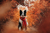 border collie dog beautiful autumn portrait in yellow leaves