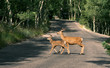 A deer with a spotted baby crosses the road.  Great Basin National Park, Nevada, US