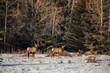 A herd of elk in snow in Banff National Park