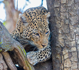 African leopard (Panthera pardus pardus), resting in a tree, South Luangwa, Zambia