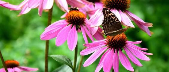 Echinacea mit Schmetterling im Bauerngarten, Banner für Website © Zeitgugga6897