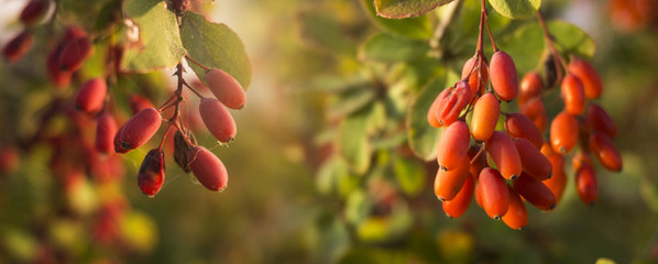 Autumn background with yellow-red leaves and fruits. Autumn floral background. © MiaStendal