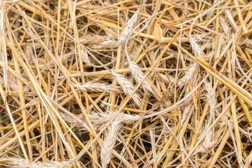Stroh des Getreides Roggen auf einem Feld in Bayern, Deutschland