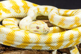Yellow and white striped Darwin Albino Carpet Python coiled on tree root. Medium close up - 224887362
