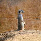 Single meerkat (species: Suricata suricatta) is standing on ground and watching what's going around.