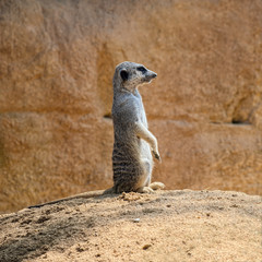 Single meerkat (species: Suricata suricatta) is standing on ground and watching what's going around.
