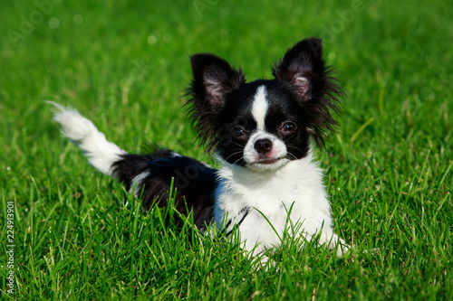 Leinwanddruck Bild Dog breed Chihuahua