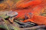 The Green Iguana (Iguana iguana) also known as the American iguana