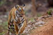 Female tiger on the move in Tadoba National Park in India