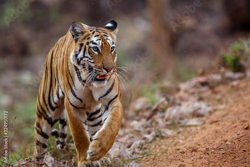 Fototapeta Female tiger on the move in Tadoba National Park in India