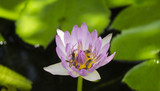pink lotus and green leaf lotus in the river