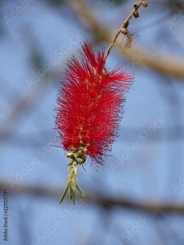 Close up of a hanging weeping bottlebrush branch - 225025746
