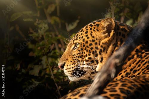 Fototapeta Leopard detail