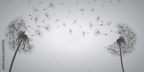 Abstract white dandelions, dandelion with flying seeds - vector - 225097142