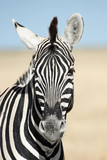 Vertical portrait of a zebra. - 225109343