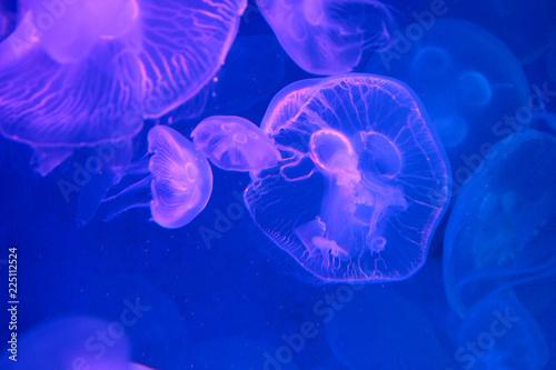 Fototapeta Moon Jellyfish (Aurelia aurita) : Moon Jellyfish in the aquarium