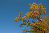 Branches of a tree with yellow leaves