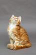 Beautiful ginger kitten  Maine Coon
