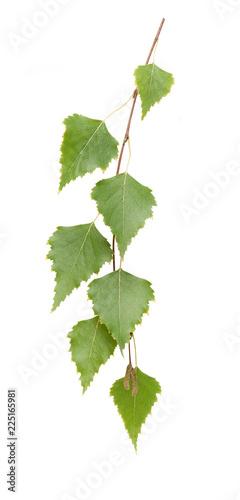 Birch - 225165981