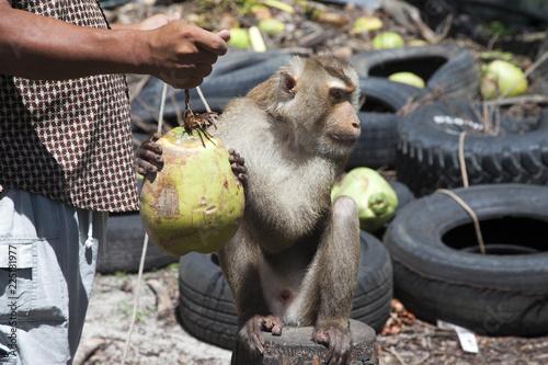 Fototapeta Affe als dressierter Erntehelfer für Kokosnüsse