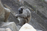 Old chimpanzee sitting alone on the rock.