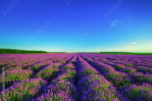 Lavender field in Provence - 225185533