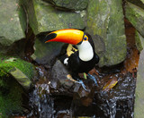 toucan toco sitting on a stone by the stream - 225194509