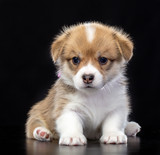 Welsh corgi puppy Dog  Isolated  on Black Background in studio