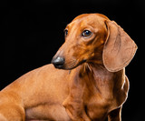 Dachshund Dog  Isolated  on Black Background in studio