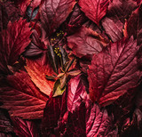 Dark red autumn leaves background, top view. Fall color concept