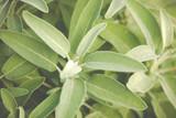 sage plant leaves on mediterranean garden herbs ans sipces,  - 225214327