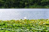 Swan in Lake in Blarney, Ireland