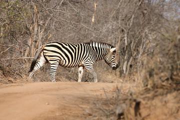 The plains zebra (Equus quagga, formerly Equus burchellii) or common zebra or Burchell's zebra is walking across the dusty road during safari in the bush