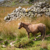 Stunning image of wild pony in Snowdonia landscape in Autumn - 225221177