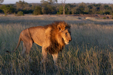 Old male lion on the move