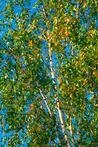 Beautiful Russian birches in green and yellow foliage against the pure blue sky – the beginning of autumn in nature in Central Russia - 225225582