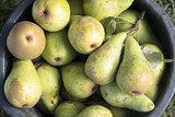 organic pears in a bucket freshly harvested from the orchard, high angle view from above - 225226508