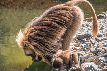 Gelada baboon (Theropithecus gelada) drinking water from a pond. Also  Found only in the Ethiopian Highlands, with large populations in the Semien Mountains.