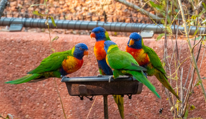 Sun Conure parrots, also know as sun parakeet (Aratinga solstitialis), native of South America