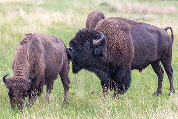 Bison In Yellowstone © Sergey