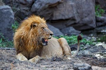 Dominant male lion in Sabi Sands Game Reserve in South Africa
