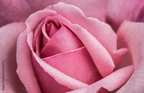 Blooming beautiful colorful roses in close up view - 225260516