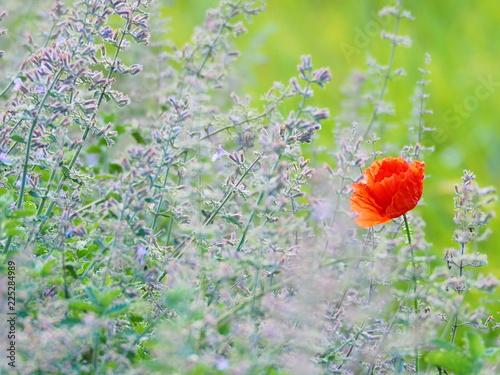 お花畑に1輪のポピーの花 - 225284989